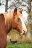Palomino percheron portrait in autumn Stock Photography