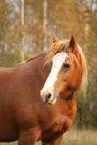 Palomino percheron portrait in autumn Stock Photos