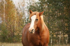 Palomino percheron portrait in autumn Royalty Free Stock Photo