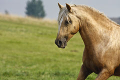 Palomino Peruvian Paso Stallion loose in a field. Gorgeous Peruvian Paso Stallion of palomino colouration with white mane and forelock and blaze.  Ears are Royalty Free Stock Photo