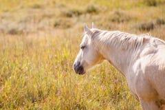 Palomino-Pferd Stockfoto