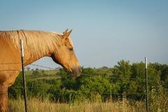 Palomino-Pferd auf dem Gebiet Lizenzfreie Stockfotografie