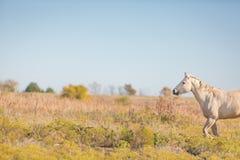 Palomino-Pferd auf dem Gebiet Lizenzfreie Stockbilder