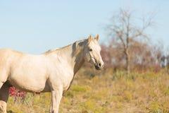 Palomino-Pferd auf dem Gebiet Lizenzfreies Stockfoto