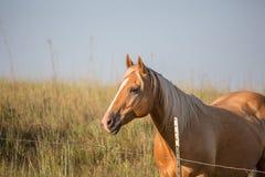 Palomino-Pferd bei Sonnenuntergang Lizenzfreie Stockfotografie