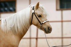 Palomino pony. Mare of palomino young welsh pony Stock Photography