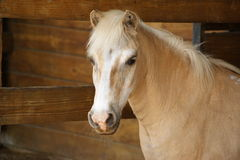 Palomino Pony Portrait. Here is a palomino, shetland pony posing for a portrait in the barn Royalty Free Stock Photo