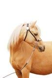 Palomino pony portrait isolated. Palomino welsh mountain pony portrait isolated Stock Photos