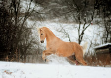 Palomino pony. In a winter Stock Photography