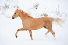 Palomino pony Stock Photos