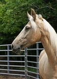 Palomino Portrait. Close up of a Palomino-colored Kentucky Mountain Horse with a long flowing mane Stock Photos