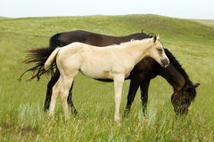 Palomino quarter horse Royalty Free Stock Photo