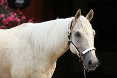 Palomino quarter horse in front of dark background Royalty Free Stock Photography