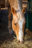 Palomino Quarter Horse. A Palomino Quarter Horse grazing on hay Stock Images