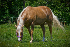 Palomino Quarter Horse Stock Photos