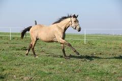 Palomino quarter horse running on pasturage Stock Image