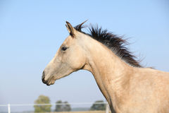 Palomino quarter horse running on pasturage Stock Photos