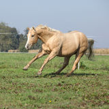 Palomino quarter horse running on pasturage Royalty Free Stock Images