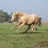 Palomino quarter horse running on pasturage Royalty Free Stock Images