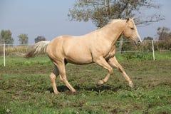 Palomino quarter horse running on pasturage. In autumn Stock Images