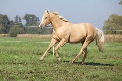 Palomino quarter horse running on pasturage Royalty Free Stock Photos