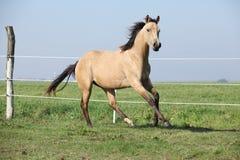 Palomino quarter horse running on pasturage Royalty Free Stock Image