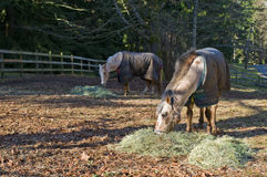 Palomino and quarter horses. A picture of a Palomino and a quarter horse feeding on alfafa in a ranch Stock Photo