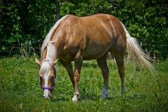 Palomino-Quarterhorse Stockfotos