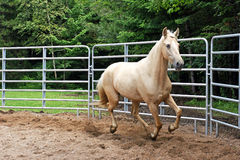 Palomino in the Ring. A beautiful palomino Kentucky Mountain horse on the move in the ring Royalty Free Stock Images