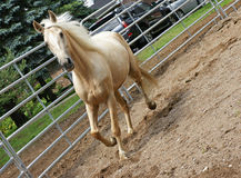 Palomino in the Ring. A beautiful palomino Kentucky Mountain horse on the move in the ring Royalty Free Stock Image