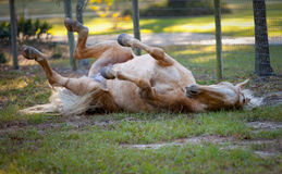 Palomino Rolling. Golden Palomino German Riding Pony rolling in the sand in Florida Royalty Free Stock Photography