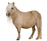 Palomino Shetland pony, Equus caballus. 3 years old, standing in front of white background royalty free stock photography