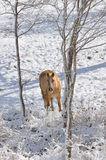Palomino som söker efter föda i snön Royaltyfria Bilder