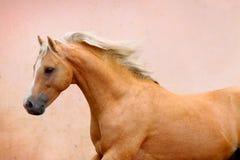 Palomino stallion. Welsh pony moving Stock Images
