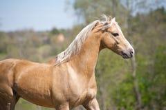 Palomino stallion Stock Image