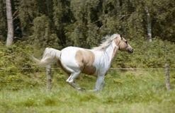 Palomino stallion gallops royalty free stock photo