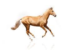 Palomino stallion isolated. On white Stock Images