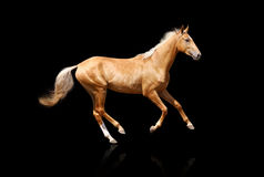 Palomino stallion isolated. On black Royalty Free Stock Images