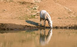 Palomino stallion wild horse reflecting in the water at the water hole in the Pryor Mountains Wild Horse Range in Montana USA Royalty Free Stock Photography