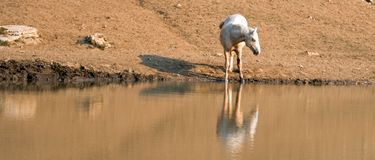 Palomino stallion wild horse reflecting in the water at the water hole in the Pryor Mountains Wild Horse Range in Montana USA Stock Photo