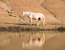 Palomino stallion wild horse reflecting in the water at the water hole in the Pryor Mountains Wild Horse Range in Montana USA Royalty Free Stock Image