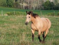 Palomino Stroll. A palomino horse strolls across a field Stock Photo