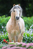 Palomino-Waliser-Ponyportrait in den Blumen Stockbilder