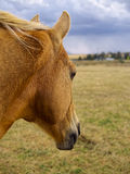 A Palomino Watching the Storm Clouds Roll in Stock Photography