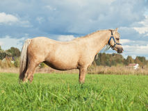 Palomino welsh pony dam in the field Royalty Free Stock Photo
