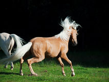 Palomino welsh pony in motion at black background Royalty Free Stock Photos