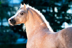 Palomino Welsh pony portrait in summer. Palomino Welsh pony portrait on dark blue background Stock Photos