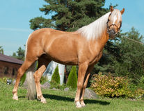Palomino welsh pony Stock Photos