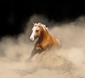 palomino welsh stallion Stock Photo