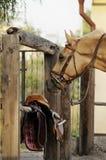 Palominohäst med utrustning nära Fotografering för Bildbyråer